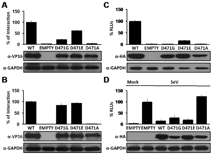 Effects of D471 substitution on LCMV-NP functions. (A) NP-NP interaction: Human 293T cells were co-transfected as described in Figure 1 B with 2 μg of the indicated pC wt or mutant NP-VP16 fusion proteins, together with 2 μg of NP-GAL4 expression plasmids. At 72 hpt, cell extracts were prepared to determine the strength of the interaction. VP16 expression plasmid was used as negative control. Reporter gene activation (FFL) is shown as percentage of wt interaction (pC-NP-VP16 and pC-NP-GAL4) after normalization of transfection efficiencies based on levels of Renilla luciferase activity driven by plasmid pRL SV40. Cell lysates were used to detect expression of wt and mutant NPs by WB using an anti-VP16 polyclonal antibody. GAPDH was used as a loading control. (B) NP-Z interaction: Human 293T cells were co-transfected as described in Figure 2 B with 2 μg of the indicated pC wt or mutant NP-VP16, together with 2 μg of GAL4-Z expression plasmids. At 48 hpt, cell extracts were prepared to determine the strength of the interaction and protein expression. Reporter gene activation (FFL) is shown as percentage of wt interaction (pC-NP-VP16 and pC-GAL4-Z) after normalization of transfection efficiencies based on Renilla luciferase values. Cell lysates were used to detect expression of wt and mutant NPs by WB using an anti-VP16 polyclonal antibody. GAPDH was used as a loading control. (C) Replication and transcription activity: BHK-21 cells were co-transfected with the LCMV MG as described in Figure 3 together with expression plasmids for the viral polymerase (L) and wt or indicated mutant NPs, and pSV40-Cluc expression vector to normalize transfection efficiencies. At 48 hpt, TCS were collected for luciferase assay and cell lysates were prepared for protein detection. Empty pC was used as a negative control. RLUs (%) were calculated based on the replication and transcription activity mediated by wt NP, after normalization by Cluc luminescence values. Expression levels of wt and mutant NPs were determined by WB using an anti-HA antibody. GAPDH was used as a loading control. (D) Inhibition of induction of IFN-I: Human 293T cells were co-transfected as described in Figure 4 with 0.1 μg of the indicated pC-NP HA-tagged expression vectors together with the IFNβ reporter plasmids. At 16 hpt, cells were infected with SeV (moi=3) to induce activation of the IFNβ promoter, and 24 hours later cell lysates were prepared for luciferase assay and detection of protein expression. Luciferase values were normalized with respect to those obtained in cells transfected with Empty pC and infected with SeV, after adjusting for renilla luminescence values. Expression of wt and mutant NPs were determined by WB using an anti-HA antibody. GAPDH was used as a loading control.