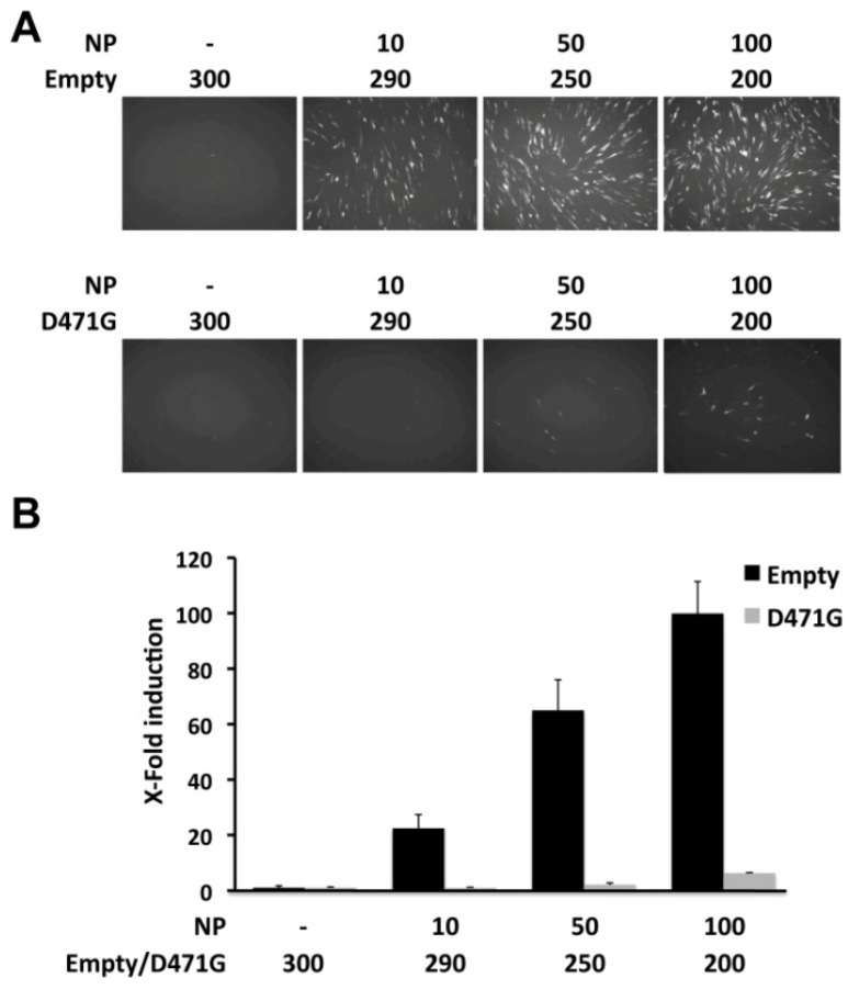 Dominant negative effect of LCMV-NP D471G on viral replication and transcription. BHK-21 cells were co-transfected in triplicate with 0.5 μg of pPolI GFP-Pur/Gluc, 0.6 μg of pC-L, and the indicated amounts (ng) of pC-LCMV-NP HA-tagged (NP); together with empty pC (Empty) or pC LCMV-NP D471G HA-tagged (D471G), and 0.1μg of the pSV40-Cluc expression vector to normalize transfection efficiencies. At 48 hpt, MG activity was determined by GFP expression (A) and luciferase activity from TCS (B). Reporter gene activation is shown as induction over an empty pC vector-transfected control.