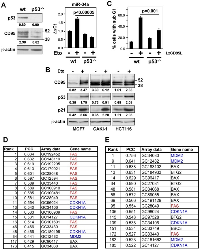 miR-34a and CD95 are p53 transcriptional targets that are functionally connected. ( A ) Western blot analysis of p53 and CD95 in HCT116 parental wild type (wt) and p53 −/− cells. For quantitative real-time PCR analysis of miR-34a, the same cells were treated with either control medium (−) or 10 µM etoposide (+) for 12 hrs. ( B ) MCF7, CAKI-1, and HCT116 cells were treated with control medium (−) or 10 µM etoposide (+) for 12 hrs and subjected to Western blot analysis. Band intensities were quantified relative to actin for each lane. ( C ) Apoptosis of HCT116 wt and p53 −/− cells upon LzCD95L treatment (1 µg/ml) for 18 hrs. ( D ) Key p53 targets positively correlating with the sensitivity of NCI60 cells to CD95-mediated apoptosis. ( E ) Genes whose expression positively correlates with p53 responsiveness in NCI60 cells.