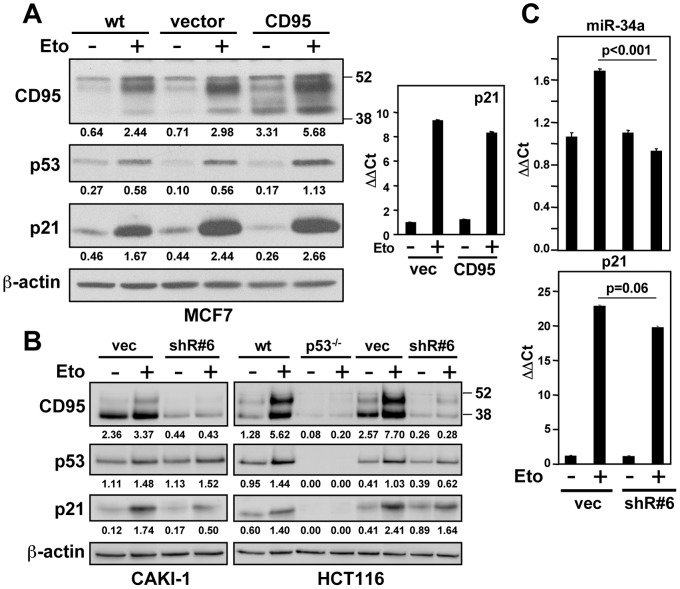 CD95 positively affects p53 expression. ( A ) Left panel: MCF7 parental, vector or CD95 expressing cells treated with 10 µM etoposide for 12 hrs analyzed by western blotting for CD95, p53, and p21 expression. Right panel: p21 mRNA upregulation after 12 hrs of 20 µM etoposide treatment in vector or CD95 transfected cells. ( B ) Left panel: Effect of CD95 knockdown with a lentiviral shRNA (shR#6) on etoposide induction in CAKI-1 cells. Right panel: Effect of CD95 knockdown on etoposide induction in HCT116 cells. In both panels cells treated with 10 µM etoposide for 12 hrs. Band intensities were quantified relative to actin for each lane. ( C ) miR-34a (upper panel) and p21 (lower panel) expression analysis by quantitative real-time PCR in CAKI-1 vector or CD95 knockdown cells using shR#6 after a 12 hrs treatment with of etoposide (10 µM).