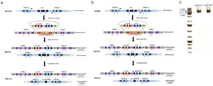 A single-copy transgene insertion used to investigate consequences of single gene mutations in variation-rich isolates of C. elegans . ( a ) Analysis of tac-1(or402) using Mos1 -mediated transgenesis. tac-1 , including its 5′ and 3′ regulatory sequences, was amplified using high-fidelity DNA polymerase from EU1004 genomic DNA and cloned into a pCFJ178 vector. The red dotted line located in the third exon of tac-1 depicts the or369/402 A to G change that results in an L229F amino acid change. Once cloned into the pCFJ178 vector, the transgene was inserted into the cxTi10882 Mos1 (depicted in orange) integration site on chromosome IV (depicted in purple). The resulting JNC152 strain contains both the endogenous copy of tac-1 located on chromosome II (depicted in blue), and tac-1 isolated from EU1004 inserted on chromosome IV, dotSi121 . To uncover the effect of tac-1(or402) , dotSi121 was examined in the absence of endogenous TAC-1 using ok3305 . Thus, we constructed JNC153. ( b ) Schematic representation of the method used to investigate consequences of tac-1 variations detected in CB4856 tac-1 , including the 5′ and 3′ regulatory sequences, was amplified using high-fidelity DNA polymerase from CB4856 genomic DNA and cloned into a pCFJ178 vector. The red dotted lines represent single nucleotide changes detected in CB4856 tac-1 . Then, the transgene was inserted into the cxTi10882 Mos1 (depicted in orange) integration site on chromosome IV (depicted in purple). JNC150 contains both the endogenous copy of tac-1 located on chromosome II (depicted in blue) and tac-1 isolated from CB4856 dotSi120 inserted on chromosome IV. Then, dotSi120 was analyzed in the absence of endogenous tac-1(ok3305) . ( c ) PCR bands of the expected size (6kb) for stably integrated single copy insertions of tac-1 , dotSi121 and dotSi120 .