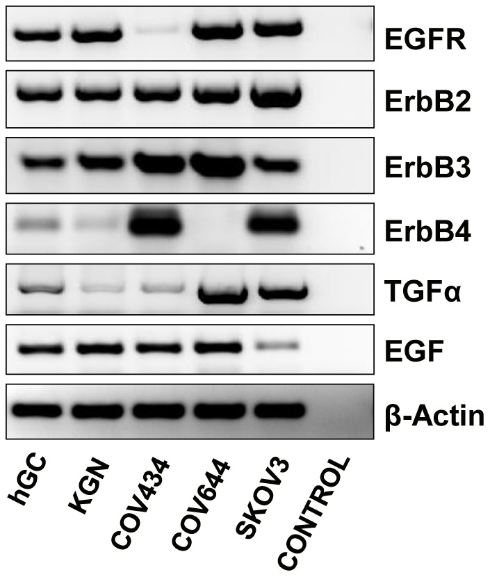 Expression of TGFα, EGF and ErbB family receptor mRNA in KGN and COV434 GCT cell lines. SKOV-3 (ErbB2 overexpressing cells) and COV644 cells (ErbB4 negative cells) were used as positive and negative controls. Primary cultures of normal human granulosa cells were used as a positive control for the detection of EGFR and TGFα. β-actin mRNA was used as an internal loading control.