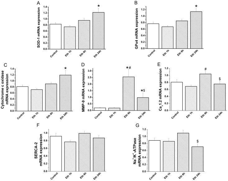 Effect of acute ethanol exposure on myocardial gene expression. Quantitative real-time PCR from myocardium RNA extracts revealed that mRNA levels for (A) superoxide dismutase (SOD)-1, (B) glutathione peroxydase (GPx)-4, (C) cytochrome-c oxidase were significantly increased after 24 h and (D) matrix metalloproteinase (MMP)-9 following 6 h and 24 h compared with the control group. However, mRNA-levels of (E) L-Type calcium-channel (Ca v 1.2), (F) sarco(endo)plasmic Ca 2+ -ATPase (SERCA)-2 and (G) sodium-potassium Adenosine Triphosphatase (Na + /K + -ATPase) remained unchanged following ethanol administration compared to the control group. Eth indicates ethanol. *p