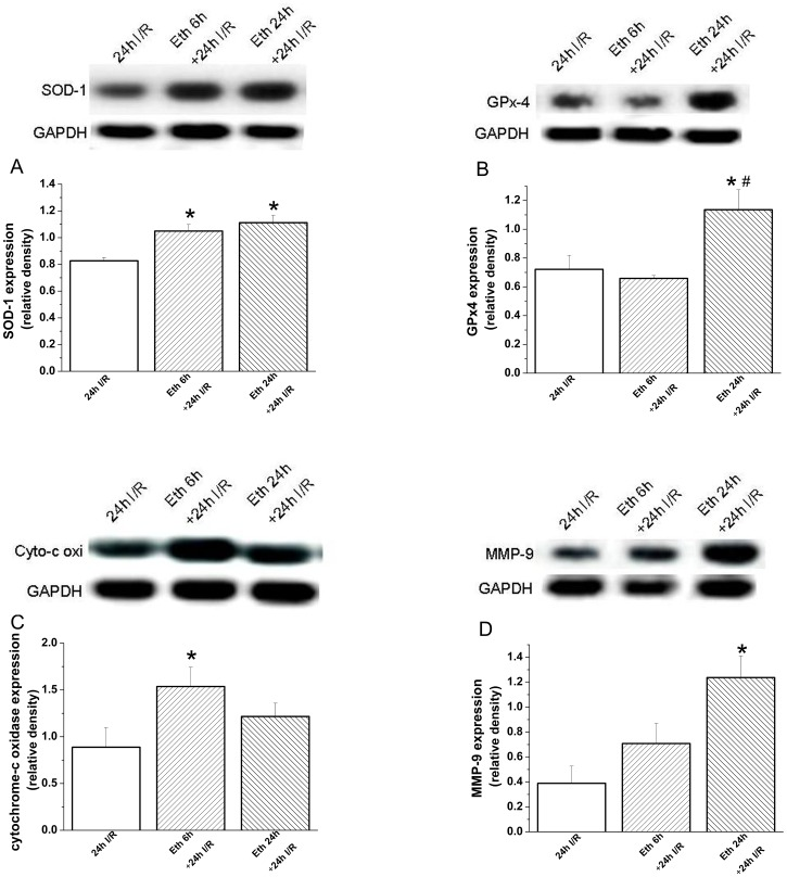 Effect of acute ethanol exposure on myocardial protein expression 24 h after transplantation. Twenty-four hours after transplantation, densitometric analysis of bands for (A) superoxide dismutase (SOD)-1 showed a significant increase at 6 h and 24 h following ethanol administration, at 6 h for (C) cytochrome-c oxidase (cyto-c oxi), and at 24 h for (D) matrix metalloproteinase (MMP)-9 compared with the control group. Moreover, 24 h after transplantation, there was a significant increase in protein expression for (B) glutathione peroxydase (GPx)-4 in the group receiving ethanol 24 h prior to explantation when compared with the control- and 6 h ethanol+24 I/R groups. I/R indicates ischemia/reperfusion, Eth ethanol, glyceraldehyde-3-phosphate dehydrogenase (GAPDH). *p