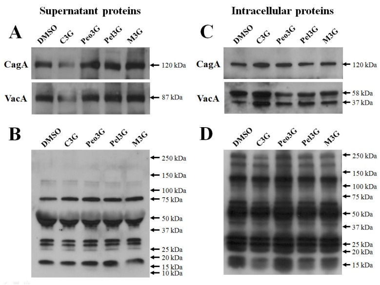 Effect of anthocyanins on secretion of H. pylori CagA and VacA. H. pylori was cultured with 100 μM of anthocyanin in Mueller-Hinton broth/10% FBS for 3 days and proteins assessed by Western blot. (A), secreted CagA and VacA in culture media. (B), secreted H. pylori proteins reacting with rabbit anti- H. pylori polyclonal antibody. (C) , intracellular CagA and VacA. (D) , intracellular H. pylori proteins reacting with rabbit anti- H. pylori polyclonal antibody. Representative image from five independent experiments.