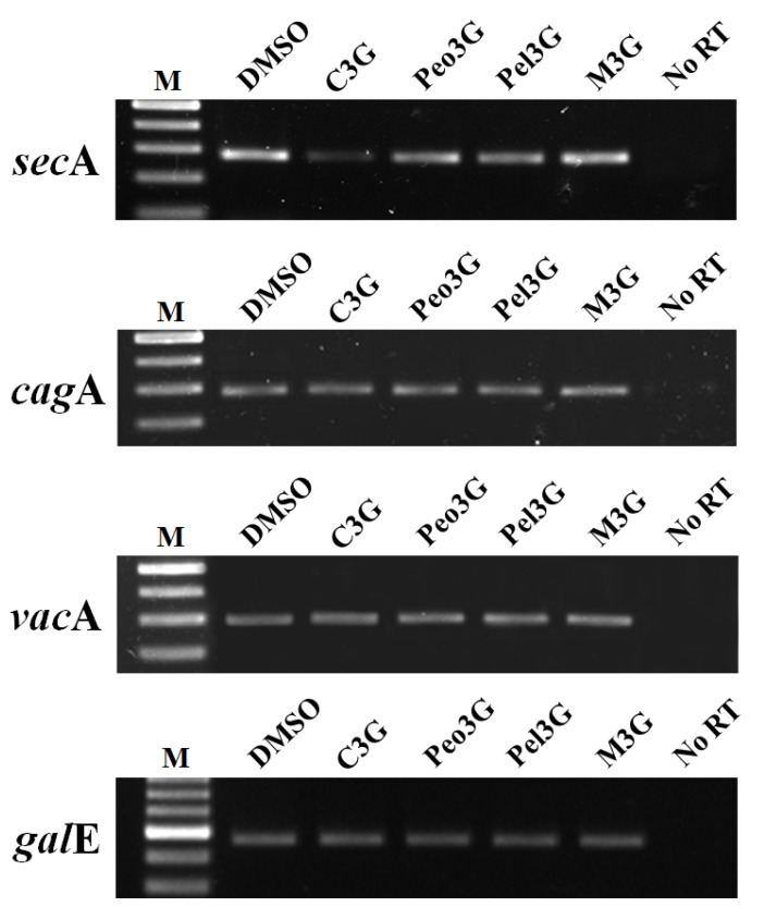 Effect of anthocyanins on sec A transcription. H. pylori was cultured with 100 μM of anthocyanin in <t>Mueller-Hinton</t> broth/10% FBS for 3 days. After extensive washing, total RNA was extracted and cDNA synthesized. RT-PCR analysis was performed to assess expression of sec A, cag A, and vac A. The galE (UDP-galactose 4-epimerase gene) was used as an internal control. No RT, no reverse transcriptase. A representative image from five independent experiments.