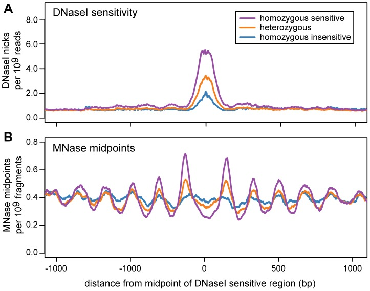 Nucleosome organization in regions with an association between DNase I sensitivity and genotype (dsQTLs). Data are aggregated across dsQTLs and are scaled by the total number of sequenced reads. The DNase-seq data are from 70 individuals and the MNase-seq data are from 7 individuals. This plot was created using a subset of dsQTLs (n = 1101) that have a narrow region of DNase I sensitivity (below the median) and a large difference in sensitivity between genotypes (above the median). The complete set of filtered dsQTLs shows the same trend ( Figure S16 ). A. The density of DNase I nicks for different dsQTL genotypes. B. The density of MNase midpoints for different dsQTL genotypes.