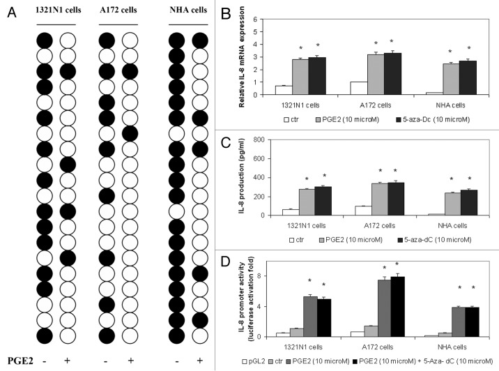 The PGE2-induced demethylation of CpG site 5 (nucleotide -83) in the IL-8 enhancer-promoter region increased IL-8 expression in astrocytoma cells. ( A ) 1321N1, A172 and NHA cells were stimulated with 10 µM PGE2 for 5 h. The methylation status of CpG site 5 was determined by bisulfite sequencing analysis in 20 individual clones from each cell line (white circle, unmethylated; black circle, methylated). ( B ) Cells were treated with PGE2 or 5-aza-dC. Total RNA was extracted, reverse-transcribed, and analyzed by quantitative real time-PCR. IL-8 mRNA levels were normalized by using the housekeeping gene β-actin as the inner control. Data are depicted as the mean ± SD of three independent experiments. ( C ) Cells were treated with PGE2 or 5-aza-dC. The amount of IL-8 protein was measured by ELISA. Data are depicted as the mean ± SD of three independent experiments. (D) Cells were transiently transfected with 1 µg of the IL-8 promoter construct and subsequently treated with PGE2 or 5-aza-dC. Data are expressed as mean ± SD of results in three independent experiments. Statistical analyses were performed compared with untreated control cells. *p