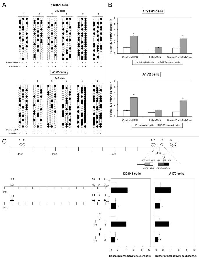 CpG site 5 methylation reduced IL-8 expression. ( A ) Induction of CpG site 5 methylation in genomic DNA using the RNAi method. 1321N1 and A172 cells were transfected with either control shRNA or target shRNA directed against CpG site 5 (IL-8 shRNA). The methylation status of the CpG site 5 was determined by bisulfite sequencing. ( B ) 1321N1 and A172 cells were transfected with either control shRNA or IL-8 shRNA in the presence or absence of 5-aza-dC. Expression levels of IL-8 mRNA were determined by Real-Time PCR. The results shown are the means ± SD of three independent experiments. ( C ) Demethylation of CpG site 5 is necessary for the enhancement of IL8-promoter-driven transcription. Luciferase activity produced by the indicated plasmids, either methylated (black circle) or unmethylated (white circle), was determined after their transfection into 1321N1 and A172 cells untreated (white boxes) or treated with 10 µM PGE2 (black boxes). Data are depicted as the mean ± SD of three independent experiments. Statistical analyses were performed compared with respective untreated control cells. *p