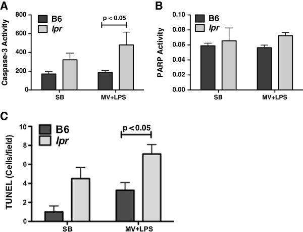 Apoptotic response. Caspase-3 activity ( A ) and Poly ADP ribose polymerase (PARP) ( B ) in the lungs of C57BL/6 (B6) or Fas-deficient LPR mice treated with intratracheal installations of either PBS or E. coli LPS, 15 ng/kg, followed by either spontaneous breathing (SP) or four hours of mechanical ventilation (MV) with tidal volumes of 10 mL per kilogram. Caspase-3 activity was significantly higher in the lpr mice exposed to MV + LPS. n = at least 6/group. Double-labeling for TUNEL (green) and cytokeratin (red) reveals that the TUNEL positive cells are located in the alveolar wall, but most of them are cytokeratin negative.