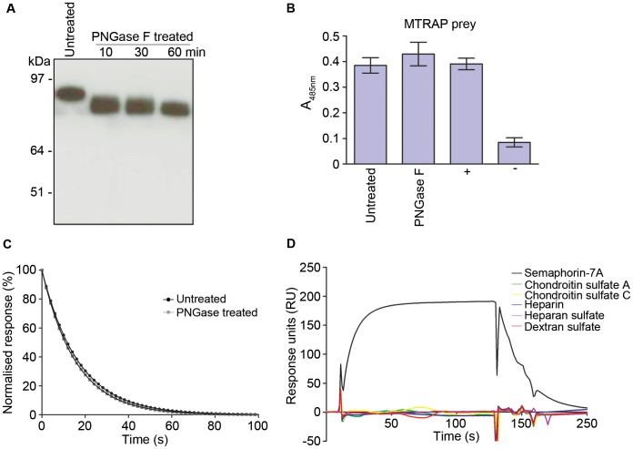 The MTRAP-Semaphorin-7A interaction is not influenced by glycans. ( A ) PNGase F treatment of Semaphorin-7A. Biotinylated Semaphorin-7A was incubated with PNGase F for 10, 30 or 60 minutes. Enzyme-treated and untreated Semaphorin-7A were resolved by SDS-PAGE under reducing conditions and detected by Western blotting using Streptavidin-HRP. ( B ) Binding of MTRAP to PNGase F-treated Semaphorin-7A was indistinguishable from untreated Semaphorin-7A using the AVEXIS assay. MTRAP was used as the prey against Semaphorin-7A baits. (+) = positive control, (−) = negative control. Bar graphs show mean ± SEM, n = 3. ( C ) PNGase F treatment did not quantitatively influence MTRAP binding to Semaphorin-7A using SPR. Three concentrations of purified monomeric MTRAP were injected over flow cells immobilised with PNGase F-treated and untreated Semaphorin-7A. Dissociation rate constants ( k d ) were calculated to be 0.063±0.00007 s −1 for PNGase F treated, and 0.061±0.00006 s −1 for untreated Semaphorin-7A, by fitting a first order dissociation model to the washout phase of the binding curves. Shown are the normalized, averaged values ± SEM, n = 3. ( D ) MTRAP does not interact with sulphated glycoconjugates. Purified monomeric Semaphorin-7A, chondroitin sulphate A, chondroitin sulphate C, dextran sulphate, heparin and heparan sulphate were injected at 1 mg/ml over MTRAP immobilised on a streptavidin-coated sensor chip.