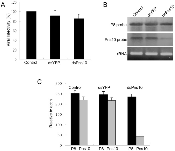 RNAi induced by dsPns10 knockdown the expression of Pns10 without significantly inhibiting virus multiplication in VCMs. ( A ) Effects of the treatment of dsRNAs on multiplication of cell-associated RDV in VCMs. Viral titers were determined in duplicate by the fluorescent focus assay (see text for details). Error bars indicate standard deviations from three independent experiments. ( B ) Transfection of dsPns10 in VCMs results in a significant reduction in level of plus-strand RNA of Pns10 gene, without greatly inhibiting synthesis of plus-strand RNA of P8 gene, as revealed by northern blot. VCMs were transfected with transfection reagent (control), dsYFP or dsPns10, inoculated with RDV at an MOI of 10, then harvested 72 h later. Approximately 5 µg of total RNAs were probed with DIG-labeled negative-sense RNA transcripts of Pns10 or P8 genes. Lower panel: detection of 5.8S rRNA as a control to confirm loading of equal amounts of RNA in each lane. Image is representative of multiple experiments with multiple preparations. ( C ) Transfection of dsPns10 in VCMs caused about 80% reduction in level of plus-strand RNA of Pns10 gene, without greatly inhibiting synthesis of plus-strand RNA of P8 gene, as revealed by RT-qPCR assay. VCMs were transfected with transfection reagent (control), dsYFP or dsPns10, inoculated with RDV at an MOI of 10, then harvested 72 h later. Approximately 5 µg of total RNAs was extracted with TRIzol Reagent. The results of RT-qPCRs were normalized to the level of leafhopper actin gene. Error bars indicate standard deviations from three independent PCRs.