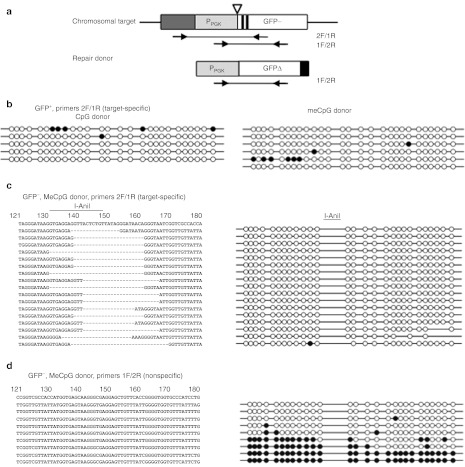 Bisulfite sequencing of the chromosomal target. ( a ) Diagram showing primers used for PCR amplification of bisuflite-treated DNA with respect to the chromosomal target and repair donor. Primers 2F/1R are target-specific whereas primers 1F/2R do not distinguish donor and recipient target. ( b ) CpG methylation sites of five and six clones repaired with unmethylated and methylated donor, respectively. Bisulfite-treated DNA was amplified with target-specific primer pair 2F/1R from GFP+ cells. Circles represent the 27 potential CpG methylation sites in the 250-bp region of the target analyzed by bisulfite sequencing (spanning P PGK promoter, the I-AniI recognition site, and the two stop codons at the 5′ end of the GFP gene). Open and closed circles correspond to unmethylated or methylated CpG dinucleotides, respectively. ( c ) DNA sequence (left) and CpG methylation sites (right) of 17 clones amplified with target-specific primer pair 2F/1R from a GFP− cell population repaired with CpG-methylated donor. Sequence of the region containing the I-AniI site is shown at the top; below, dashes indicate deletion. ( d ) DNA sequence (left) and CpG methylation sites (right) of nine clones amplified with primer pair 1F/2R from the same GFP− population. Sequence of donor DNA is shown (top). GFP, green fluorescent protein; PGK, phosphoglycerol kinase.