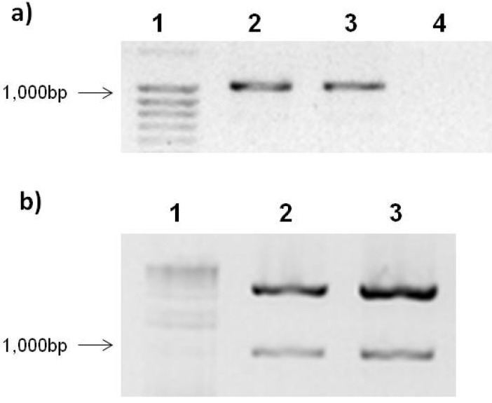 Agarose gel electrophoresis of Rep gene PCR amplification and construction double digestion.( a ) PCR amplification of Rep gene. Lanes: 1, size molecular marker; 2, Rep; 3, RepATG − ; 4, negative control. ( b ) Construction digestion with SpeI and KpnI . Lanes: 1, size molecular marker; 2, pTracerSV40:Rep; 3, pTracerSV40:RepATG − . The samples were loaded in a 1.2% agarose gel stained with EtBr.