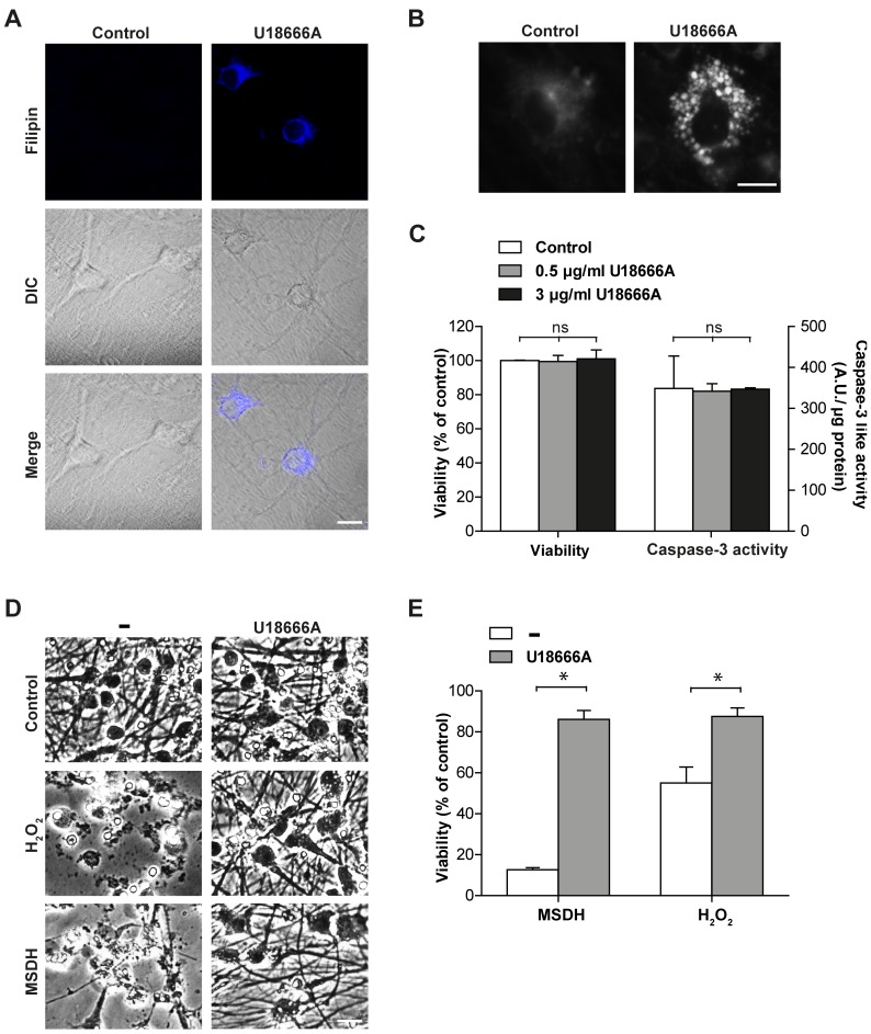 Cholesterol Accumulation in Cortical Neurons Rescues Cells from Apoptosis Induced by MSDH and Oxidative Stress. Cortical neurons were treated with U18666A. A ) Filipin staining and differential interference contrast microscopy (DIC) images (scale bar 10 µm) and B ) a higher magnification of filipin staining (scale bar 10 μM). C ) Viability analysis and caspase-3-like activity (n = 3) after 72 h. D ) Phase contrast images (scale bar 20 µm) and E ) viability analysis (MTT assay; n = 3) of cultures exposed to O-methyl-serine dodecylamide hydrochloride (MSDH) or H 2 O 2 , generated by glucose oxidase, with or without pretreatment with U18666A (48 h). Viability is expressed as percentage of untreated control. Data are presented as the mean ± SD, * p≤0.05, ns; non-significant.