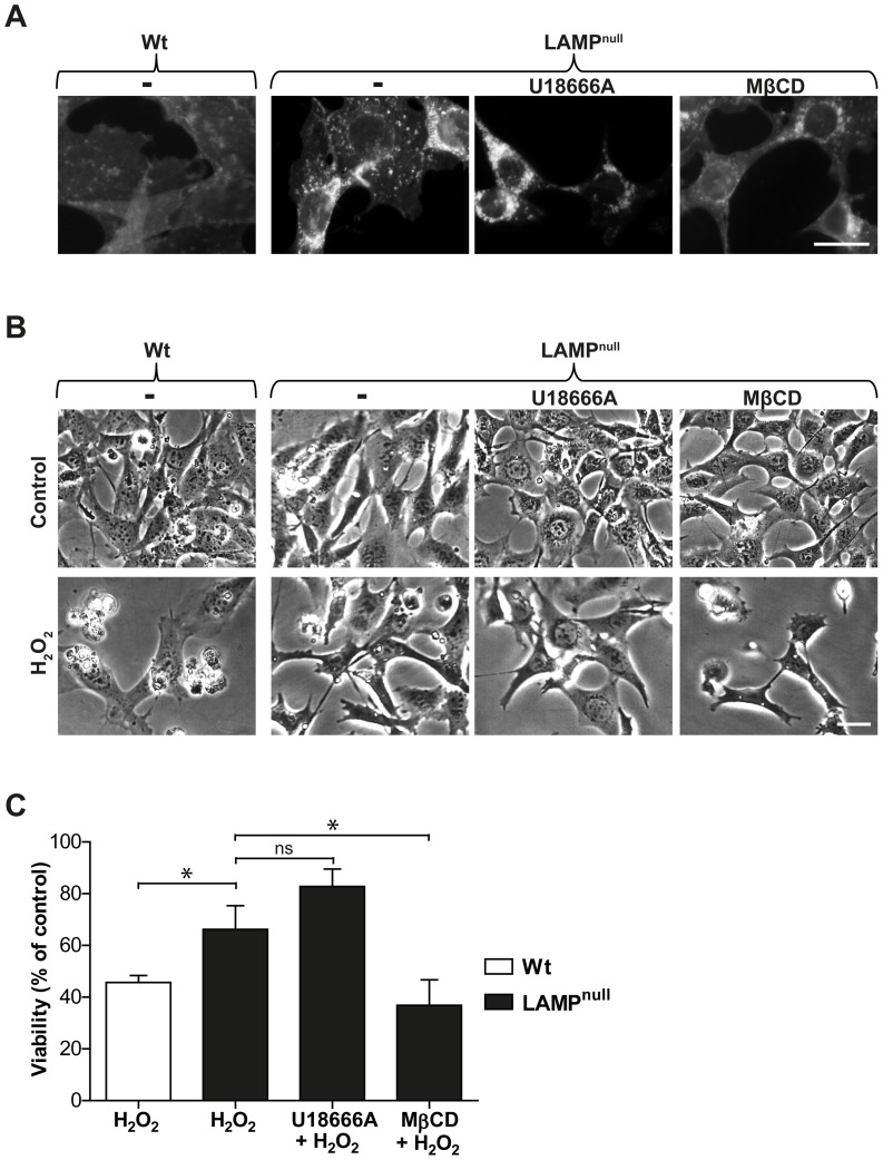 Cholesterol Modulation Influences the Sensitivity of MEFs to Oxidative Stress-induced Apoptosis. Mouse embryonic fibroblasts (MEFs) deficient for both LAMP-1 and LAMP-2 (LAMP null ) were treated with U18666A or methyl-β-cyclodextrin (MβCD). A ) Filipin staining of wt and LAMP null MEFs (scale bar 10 µm). B ) Phase contrast images (scale bar 5 µm) and C ) viability (n = 4) of wt and LAMP null MEFs 24 h after H 2 O 2 exposure. Viability was measured by crystal violet staining and expressed as percentage of untreated cultures. Data are presented as the mean ± SD, * p≤0.05, ns; non-significant.
