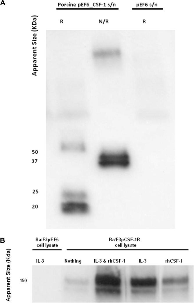 Expression of cloned porcine CSF-1 (A) and CSF-1R (B). (A) Western blot of secreted cloned porcine CSF-1 by HEK293T cells transfected with porcine CSF-1_pEF6 expression construct or empty pEF6 construct. Under non-reducing conditions, two bands of approximately 37 KDa and 50 KDa were detected, whereas two smaller bands (20 and 25 KDa) were detected in the presence of dithiothreitol (DTT). Porcine CSF-1 is secreted as a disulphide linked dimer that is variably glycosylated. (B) Western blot of cloned expressed porcine CSF-1R transfected into Ba/F3 cells. Cells were cultured in either rh-CSF-1, IL-3 or both factors combined prior to collection of cell lysate. Differential levels of receptor expression were noted when the cells were cultured in these different conditions. Receptor expression is reduced when Ba/F3 cells expressing CSF-1R are cultured in rh-CSF-1 alone.