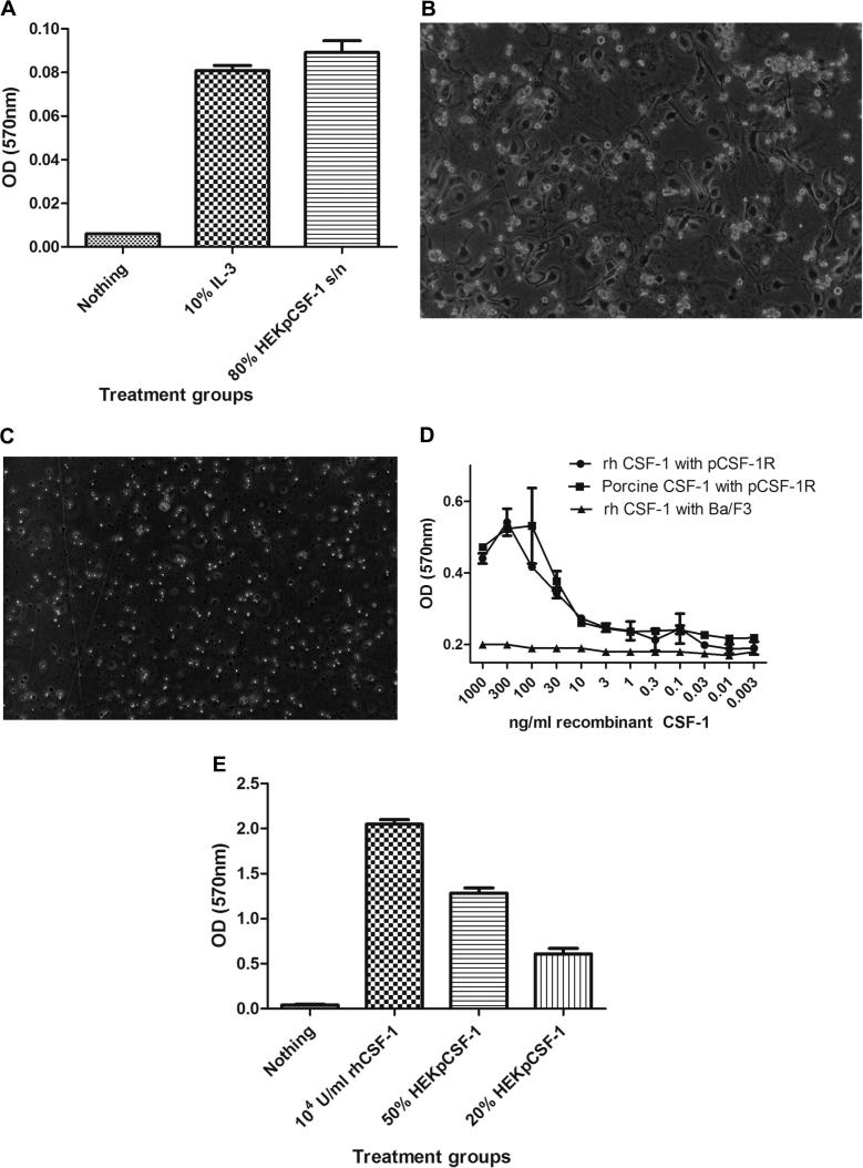 Demonstration of biological activity of cloned secreted porcine CSF-1 transfected into HEK293T cells and porcine CSF-1 expressed in E.Coli . (A) An MTT cell viability assay was performed using Ba/F3 cells expressing porcine CSF-1R and supernatant collected from transfected HEK293T cells with porcine CSF-1_pEF6 expression construct. Using 80% of the HEK293T transfected cell supernatant produced viable cells. (B) Porcine bone marrow cells cultured with 20% supernatant collected from HEK293T cells transfected with porcine CSF-1_pEF6 expression construct differentiated into BMDMs, adhered to the tissue culture plate and proliferated compared to cells cultured with supernatant from HEK293T cells transfected with empty pEF6 construct which did not adhere, proliferate or survive after 7 days in culture (C). (D) Bacterially expressed Porcine CSF-1 has also shown to be biologically active on the porcine CSF-1R expressed in Ba/F3 cells in an MTT cell viability assay. (E) An MTT cell viability assay was performed using mouse BMMs cultured with supernatant collected from transfected HEK293T cells with porcine CSF-1_pEF6 expression construct. Using either 50% and 20% supernatant produced viable cells. All of the assays shown are representative of three separate experiments with either triplicate or quadruplicate determinations.