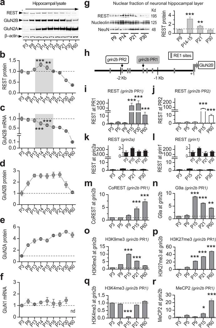REST increases transiently, is recruited to and coincides with epigenetic marks of repression at the grin2b promoter during rat hippocampal postnatal development a , Representative Western blots of whole hippocampal lysates showing that REST increases, GluN2B declines, and GluN2A increases during postnatal development (see full-length blot in Supplementary Fig. 1a ). b , Time course showing that REST protein increases transiently at P14–15 (n = 5). c , GluN2B mRNA exhibits a long-term decline during postnatal development, assessed by RT-qPCR. The decline was highly significant from P15 through P60 ( vs . P3; n = 5). d,e , Time course showing that whereas GluN2B protein declines after P21 (n = 6), GluN2A protein increases markedly from P8 to P16 and remains high up to P60 (n = 3). Data were normalized to corresponding values at P3. f , GluN1 mRNA is not altered during postnatal development (n = 6). g , Representative Western blot ( left panel ) and summary data ( right panel ) show REST protein expression in the nuclear fraction of the hippocampal cell body layer, which is enriched for neurons. Note that REST abundance in the neuronal nuclear fraction increases strikingly by P14–15 (n = 4). Data were normalized to corresponding data at P9. See full-length blot in Supplementary Fig. 12 ). h , Map of the rat grin2b gene indicating location of RE1 motifs contained within the proximal (PR1; gray box ) and distal (PR2; white box ) regions of the grin2b promoter probed by chromatin immunoprecipitation (ChIP). i,j , REST occupancy is markedly enriched at the grin2b proximal (PR1, grey bars ) (n = 6) and distal PR2 ( white bars ) (n = 3) promoters at P15 but declines by P60. k,l , REST is not enriched at RE1 sites within the grin2a (n = 9), nor grin1 (n = 6) promoters. Inset, same data depicted with expanded y-axis. m,n , CoREST (n = 3) and G9a (n = 3) are enriched at PR1 by P15. o,p , Increase in H3K9me3 (n = 3) and H3K27me3 (n = 6) (marks of repression) at P15. q , Decrease in trimethylation of H3K4 (n = 3) (mark of active transcription), at PR1. r , MeCP2 occupancy is enriched at grin2b PR1 by P15 with a sharp increase by P60 (n = 3). All samples were normalized to input and to corresponding values at P3. Summary data represent the mean ± s.e.m. *p