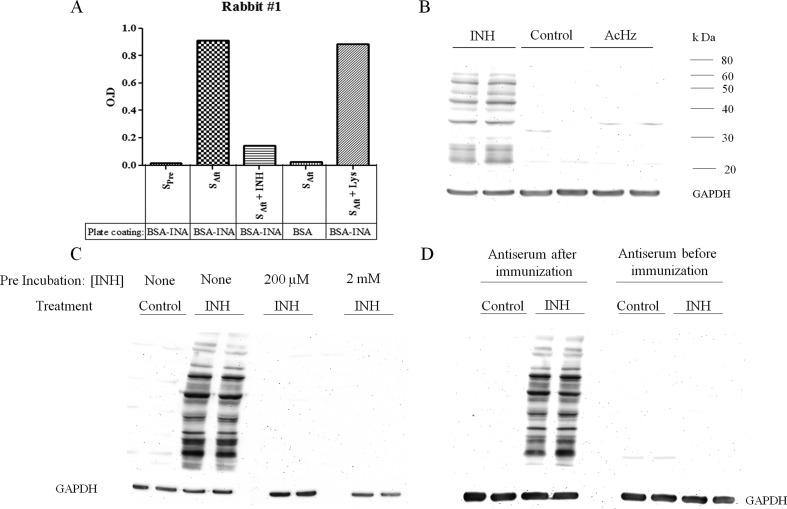 Specificity of the anti-INH antibody. (A) Antibody specificity was tested by ELISA. The plate was either coated with BSA modified with INA (BSA-INA) or BSA alone. Preimmune serum (S Pre ) or serum after immunization with Blue Carrier Protein modified with INA (S Aft ) diluted at 1:100,000 was used as the primary antibody. In the third and fifth column, the primary antibody was preincubated with INH or NAL, respectively, at a concentration of 200 μM for 30 min at room temperature. (B) Antibody was tested for cross-reactivity with binding due to AcHz. Female C57BL/6 mice were treated with either INH or AcHz (Fisher Scientific) by gavage for 7 days at 50 mg/kg/day ( n = 2 for each group). There was no binding to hepatic proteins from untreated control and AcHz-treated mice, whereas hepatic proteins from INH-treated mice showed a large number of bands modified with INH. (C) Antiserum was tested for specificity on Western blots by preincubation with INH at 200 μM or 2 mM for 1 h at 4 °C, which prevented binding to the INH-modified hepatic proteins. (D) Binding of the anti-INH serum to INH-modified liver proteins on Western blots was compared to that of the preimmune serum from the same animal.