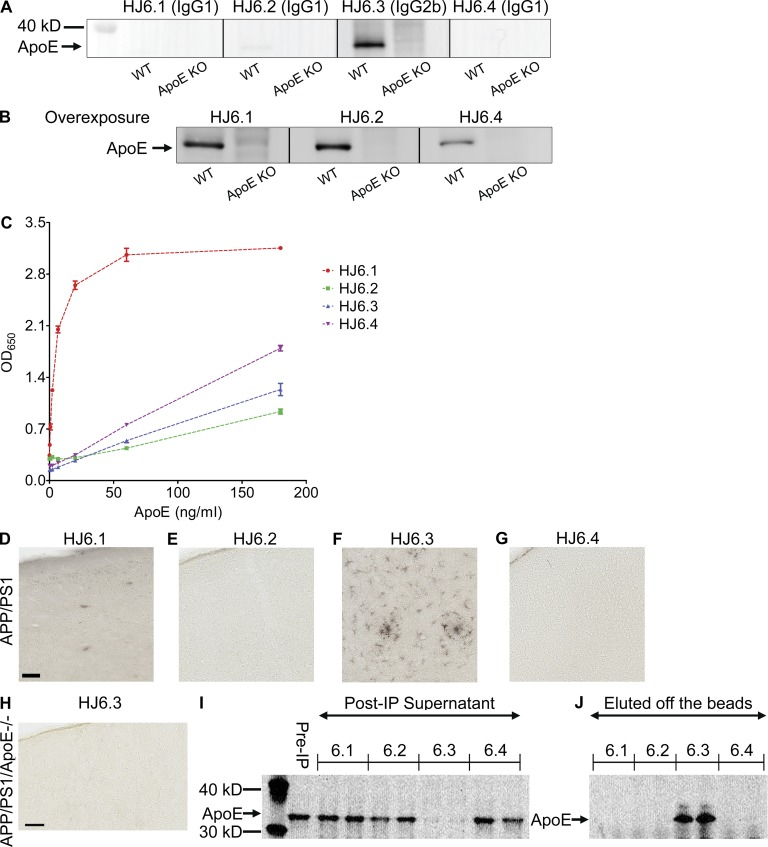 Characterization of <t>anti-apoE</t> antibodies. Four different anti-apoE antibodies were tested for their ability to recognize apoE in Western blotting (A and B), ELISA (C), immunohistochemistry (D–H), and immunoprecipitation (I). (A and B) Cerebral cortical tissues from wild-type and apoe KO mice were lysed with <t>RIPA</t> buffer and equal amounts of total proteins were loaded to each well. In B, the membranes shown in A were overexposed to show a weak apoE band in the membranes probed with HJ6.1, HJ6.2, and HJ6.4 antibody. (C) ELISA plates were coated with anti-apoE antibody (WUE4), and each biotinylated HJ antibody was used as a detection antibody. Optical density at 650 nm was measured with a series of different apoe concentrations. (D–G) Biotinylated HJ antibody was used as a primary antibody in the immunohistochemical staining with APPswe/PS1ΔE9 mice brain tissues. Bar, 50 µm. (H) Biotinylated HJ6.3 antibody was used as a primary antibody in the immunohistochemical staining with brain tissues from apoE-deficient APPswe/PS1ΔE9 mice. Bar, 50 µm. (I and J) Cerebral cortical tissues from wild-type mice were lysed with RIPA buffer, and the RIPA lysates were used for immunoprecipitation with each HJ antibody. ApoE proteins left in the supernatant of postimmunoprecipitation (Post-IP) solution (I) and eluted from protein G–Sepharose beads (J) were detected with a polyclonal anti-apoE antibody (EMD Millipore).