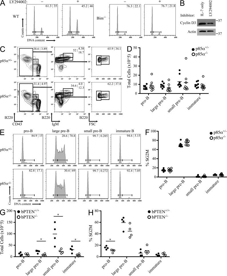 Alteration of PI3K signaling does not affect B cell progenitor proliferation. (A) B cell progenitors from WT and Bim −/− bone marrow were cultured in the presence of IL-7 with or without LY294002 for 24 h. Cells were then fixed and analyzed for DNA content and the percentage of cells in G 1 versus SG 2 M phase of cell cycle are provided. Data are representative of three independent experiments. (B) B cell progenitors from Bim −/− bone marrow were cultured in the presence of IL-7 with or without LY294002 for 24 h. TCLs were prepared in NP-40 lysis buffer, resolved by SDS-PAGE, and membranes probed for cyclin D3 and Actin. Relative molecular mass (kD) is as indicated. Data are representative of three independent experiments. (C) Flow cytometry for expression of B220, CD43, and IgM by bone marrow cells from p85α +/− and p85α −/− mice. Numbers in contour plots indicate the percentage of cells in each gate. Representative data, n = 8. (D) Relative number of cells in each population determined using total number of bone marrow cells after red blood cell lysis and percentages from flow cytometry. Each point represents a single mouse and bars represent the mean for each population. (E) The corresponding populations from C were analyzed for DNA content. Numbers in histogram plots indicate the percentage of cells in G 1 and SG 2 M phases of cell cycle. (F) Summary of the percentage of cells in SG 2 M from each population. Each point represents a single mouse and bars represent the mean for each population. (G and H) bPTEN +/+ and bPTEN −/− bone marrow was analyzed as in C and D (G), and the percentage of cells in SG 2 M from each population was summarized (H), n = 4. Each point represents a single mouse and bars represent the mean for each population. *, P