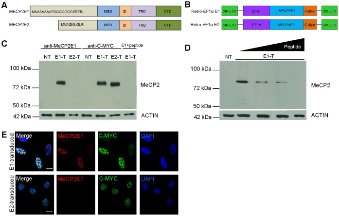 Validation of the newly developed anti-MeCP2E1 antibody. A) Schematics of MeCP2 isoforms with known functional domains. The difference in the initial amino acids of the N-terminus is highlighted. B) Schematics of the previously reported MECP2E1 (Retro-EF1α-E1) and MECP2E2 (Retro-EF1α-E2) retroviral vectors that were used for transfections (C-D) and transductions (E). C) Western blot experiments with Phoenix cell extracts from control non-transfected (NT), MECP2E1 transfected (E1-T), MECP2E2 transfected (E2-T), and MECP2E1 with peptide competition. Anti-MYC labelling was used as a positive control and ACTIN was used as a loading control. D) Western blot experiments with Phoenix cell extracts from non-transfected cells (NT), and MECP2E1 transfected cells (E1-T), probed with the anti-MeCP2E1 antibody after pre-incubation with increasing concentrations of peptide (0%, 0.1%, 1%, and 5%, of peptide as compared to the amount of antibody used). E) Immunofluorescence staining of NIH3T3 cells transduced with MECP2E1 (top row) or MECP2E2 (bottom row), with the anti-MeCP2E1 and an anti-C-MYC antibody are shown. DAPI signals are shown in blue. Note that the signals in both transduced cells are detectable with anti-C-MYC, but only transduced cells with MECP2E1 show positive signals when incubated with the anti-MeCP2E1 antibody. Scale bars represent 10 µm. MBD: methyl binding domain, ID: intervening domain, TRD: transcriptional repression domain, CTD: C-terminal domain.