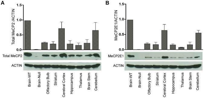Differential expression of total MeCP2 and MeCP2E1 in adult murine brain regions. Quantification of total MeCP2 ( A ) and MeCP2E1 ( B ) in total cell extracts from the wild type Mecp2 tm1.1Bird y/+ mice whole brain (Brain-WT), olfactory bulb, striatum, cerebral cortex, hippocampus, thalamus, brain stem and cerebellum. Mecp2 tm1.1Bird y/− mice whole brain (Brain-Null) was included as a negative control. Equal loading of protein lysates was verified by probing the same membrane with ACTIN (N = 3±SEM).