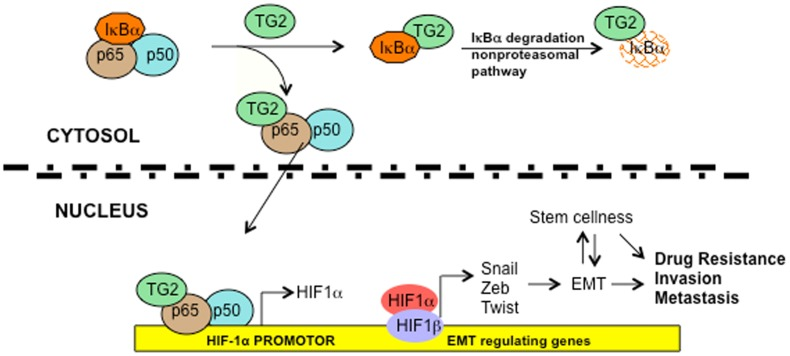 Schematic representation of TG2-regulated signaling. Association of TG2 with IκBα results in its rapid degradation via non-proteasomal pathway and liberates the p65/RelA:p50 NF-κB complex. TG2 also associates in complex with the p65/RealA subunit of NF-κB and translocates to the nucleus where it binds to the cognate NF-κB binding site on the HIF-1α promoter and results in its transcription regulation. Increased expression of HIF-1α under normoxic conditions results in increased expression of various downstream target genes such as transcription repressors Zeb1, Zeb2, Snail1 and Twist , which induce EMT and promote cell survival, invasiveness, and cellular plasticity. Overall, these TG2-regulated changes contribute to increased chemoresistance and metastatic potential.