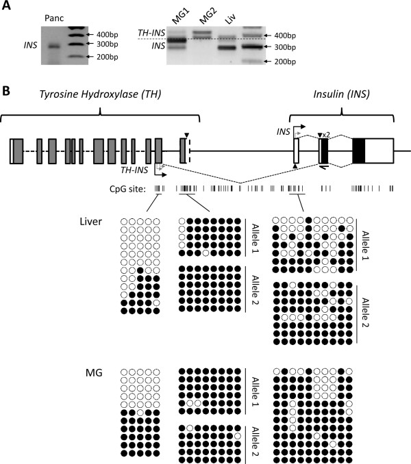 Structure and methylation of tammar INS. ( A ) 5 ′ -Rapid amplification of cDNA ends (5 ′ -RACE) was performed on RNA derived from one pancreas (Panc), two mammary glands (MG) and one liver (Liv). Five INS transcripts were amplified using a primer designed in the first INS coding exon (half-arrow). Three transcripts were chimeras and contained an exon derived from the neighbouring tyrosine hydroxylase ( TH ) gene and two were transcribed from the INS noncoding exon. The mammary gland 1 (MG1; lactation phase 1) and liver expressed both types of transcripts, the pancreas expressed only the INS-derived transcripts, and the mammary gland 2 (MG2; lactation phase 3) expressed only the TH-INS transcripts. ( B ) Schematic of predicted tammar TH and INS genes (not to scale). Predicted coding exons (grey), verified coding exons (black) and noncoding exons (white) are represented by boxes. Transcription start sites identified by 5 ′ -RACE are indicated with turned arrows. CpGs are indicated by short vertical black lines. SNPs are indicated by black triangles. Bisulphite sequenced regions (black horizontal lines) are shown with individual bisulphite sequences underneath: open and closed circles are unmethylated and methylated CpGs, respectively. Each row represents the methylation pattern on a separate DNA fragment from the same sample. Both methylated and unmethylated alleles were present in the liver and mammary gland tissues at the TH-INS TSS. Only methylated alleles were present at the CpG Island and the INS TSS had a variable methylation pattern. INS , insulin gene.