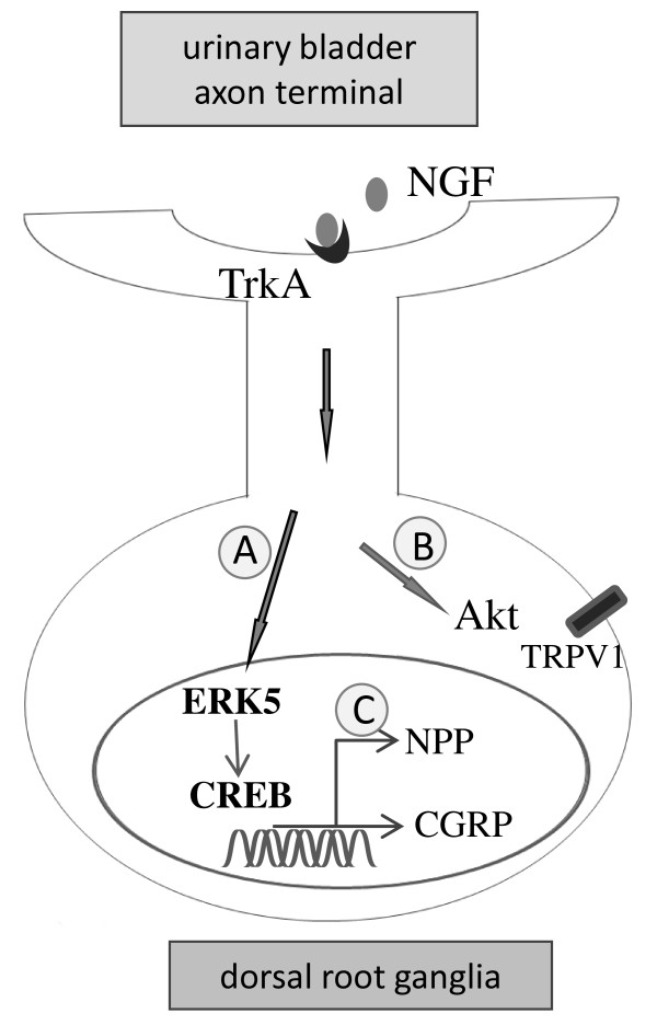 Schematic diagram illustrates the putative mechanism for NGF signal transduction that mediates the interaction of the inflamed urinary bladder and bladder sensory neurons in the DRG. Cystitis - induced NGF expression in the urinary bladder binds to TrkA and activates ERK5 and CREB in DRG via retrograde transport. The NGF-ERK5-CREB axis leads to CGRP up-regulation in bladder afferent neurons (A). The NGF-induced Akt activation (B) may contribute to TRPV1 sensitization [ 61 ] but not the CGRP up-regulation in the DRG. In addition to regulating CGRP expression, activation of CREB in bladder afferent neurons may also control gene expression of other neuropeptides (NPP) (C). These multi-branches of signaling pathways triggered by NGF may together mediate cystitis-induced bladder hyperactivity.