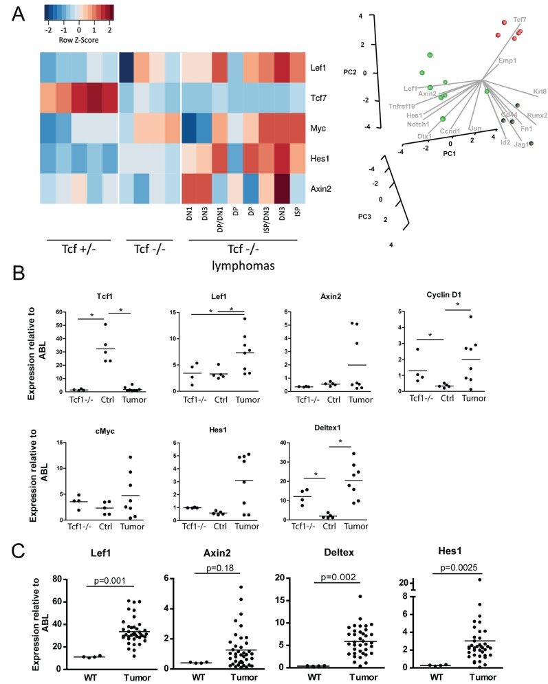 Tcf1 −/− lymphomas show deregulated Wnt signaling. (A) RNA isolated from thymi of 17 different mice was used for microarray analysis. Expression of Lef1, Tcf7, Myc, and Hes1 in the Tcf1 −/− mice without lymphoma ( n = 4), Tcf1 +/− mice (control, n = 5) and Tcf1 −/− mice with a lymphoma (Lymphoma, n = 8) is shown. For the Tcf1 −/− lymphoma mice, the phenotype of the tumor is indicated on the horizontal axis. Columns represent independent RNA preparations of the different mice groups. A principal component analysis was performed using Wnt and Notch target genes. A PCA analysis shows clustering of the three groups as well as the effect each of the target genes has on the separation of these groups with samples of Tcf1 +/− , Tcf1 −/− , and Tcf1 −/− with tumors indicated by red, black, and green spheres, respectively. (B) Expression levels of Tcf1, Lef1, Axin2, Cyclin D1, cMyc, Hes1, and Deltex1 as determined by Affymetrix microarray were summarized and normalized using RMA, and the expression relative to Abl was plotted for each sample. Statistical significant differences ( p