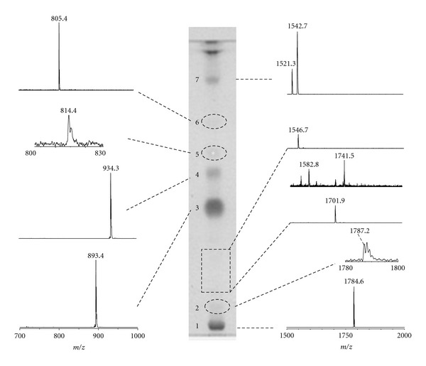 Coupled MALDI-TOF/MS and HPTLC analyses of the total lipid extract of P. furiosus . The total lipid extract was applied on the TLC plate (200 μ g) in two lanes; the lipid bands in one lane were charred after spraying with 5% sulphuric acid, while 9-aminoacridine was applied manually along the other lane obtaining a continuous deposition. The main bands on the TLC plate after charring are shown in the centre of the picture, while, on the right and the left of the TLC, are shown the negative spectra obtained by MALDI scanning of the lane covered with the matrix. Dashed lines on the TLC plate were used to mark pale lipid bands.