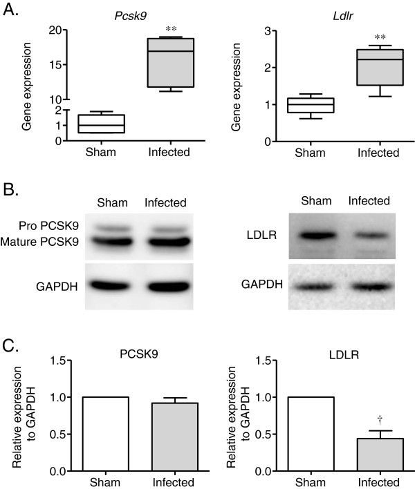 Effect of P. gingivalis infection on PCSK9 and LDLR gene and protein expression in the liver. Total RNA and protein were extracted from the P. gingivalis -infected and sham-infected mice, and the samples were analyzed by quantitative RT-PCR or western blotting. Pcsk9 and Ldlr gene expression was significantly higher in the P. gingivalis -infected mice compared with the sham-infected mice (** P