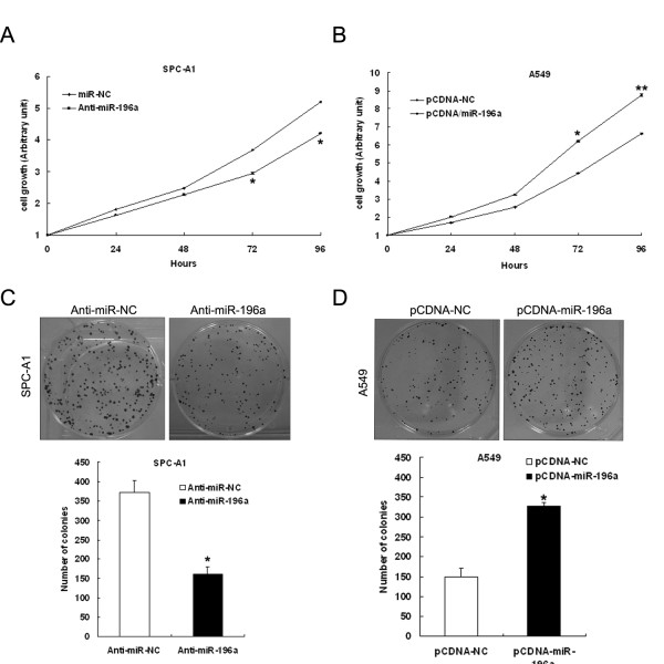 Effect of miR-196a on cell proliferation in vitro. ( A , B ) SPC-A1 cells were transfected with miR-196a inhibitors or anti-miR-NC, and A549 cells were transfected with pCDNA/miR-196a or pCDNA/miR-NC. MTT assay was performed to determine the proliferation of SPC-A1 or A549 cells. Data represent the mean ± S.D. from three independent experiments. ( C , D ) Colony-forming growth assays were performed to determine the proliferation of SPC-A1 or A549 cells. The colonies were counted and captured. *P