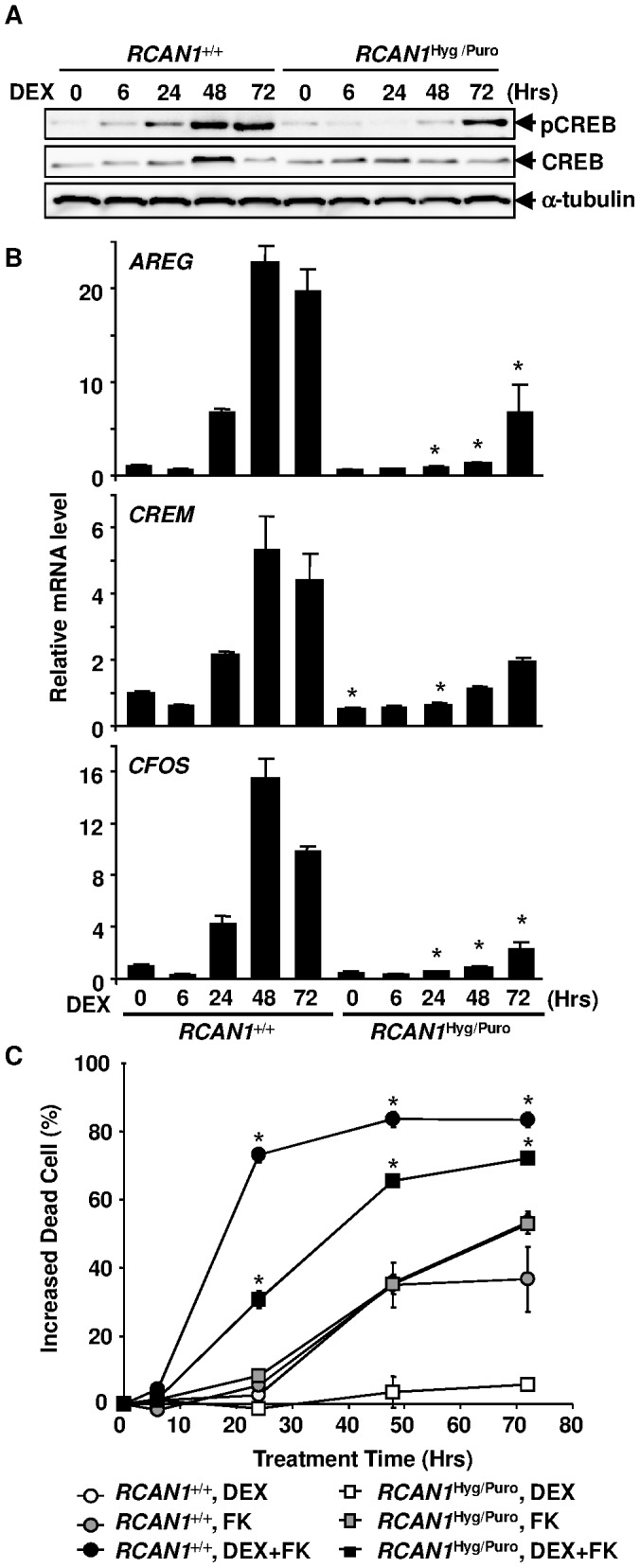 GC activates CREB in Nalm-6 cells. ( A ) Cell lysate obtained from DEX-treated <t>RCAN1</t> +/+ and RCAN1 Hyg/Puro cells was subjected to immunoblotting using anti-CREB and anti-pCREB (Ser133) antibodies. ( B ) RNA prepared from RCAN1 +/+ and RCAN1 Hyg/Puro cells treated with 10 −6 M DEX was subjected to quantitative <t>RT-PCR</t> using primer sets that hybridize to CREB target genes, AREG , CREM , and CFOS . *, p