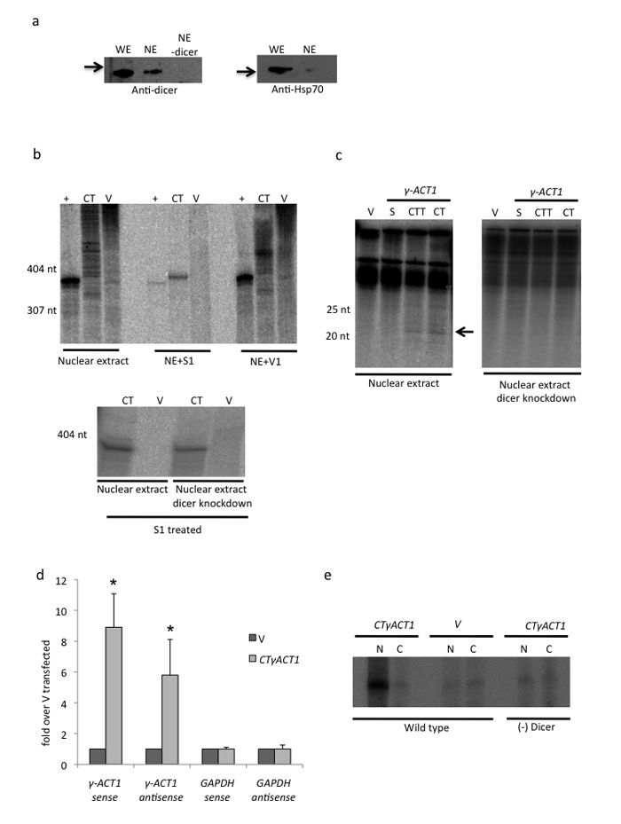 in vitro and in vivo analysis of nuclear dicer activity (a) Western blot analysis of dicer and Hsp-70 from whole cell extract (WE) versus nuclear extract (NE) with or without dicer immunodepletion (NE-dicer). Hsp70 was only detectable in WE confirming purity of NE. (b) In vitro transcription. NE dependent in vitro transcription of CTγACT1 Ex4 (390 nt RNA) and vector alone plus control run off template (yielding 363 nt RNA). Following the transcription reaction, RNA was isolated and fractionated. The long RNA fraction was treated with S1 (single strand specific), V1 (double strand specific) nucleases. Lower panel shows that dicer depleted NE still yields CT derived dsRNA. (c) In vitro transcription. Fractionation of small RNAs isolated from templates as indicated ( Supplementary Fig. 4 ). S denotes single promoter construct making just a sense transcript. Only CT and CTT yield detectible siRNAs (denoted by arrow) but not in dicer depleted NE. (d) qRT-PCR. Immunoselection of dsRNA from CTγACT1 or V transfected Hela cells using J2 antibody. Sense and antisense transcripts from CTγACT1 or endogenous GAPDH were monitored by qRT/PCR using strand specific RT primers. RT-PCR values in are based on average values ± SD from at least three independent biological experiments. * indicates statistical significance (p