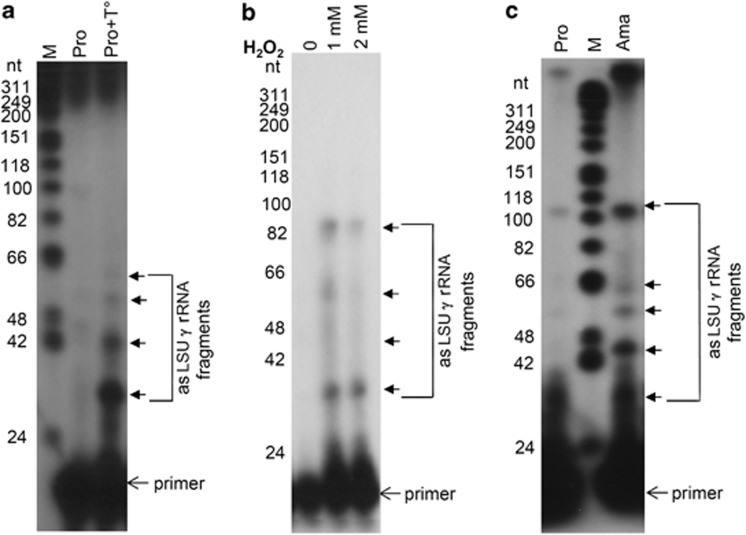 Leishmania promastigote to amastigote differentiation and exposure to various stresses induce fragmentation of the asLSU- γ RNA. ( a ) Size-fractionated RNA (≤200 nt) was isolated from L. infantum unstressed and heat–stress promastigotes (Pro) and subjected to primer extension analysis using a forward primer corresponding to nucleotides 101–118 of the sLSU- γ rRNA. ( b ) L. infantum parasites were treated with 1 mM and 2 mM of H 2 O 2 for 8 h and RNA was used for primer extension analysis as in A . ( c ) Primer extension analysis of L. infantum promastigotes and amastigotes (Ama) as indicated in ( a ). M, the end-labeled DNA ladder (Promega) was used as a reference for molecular size