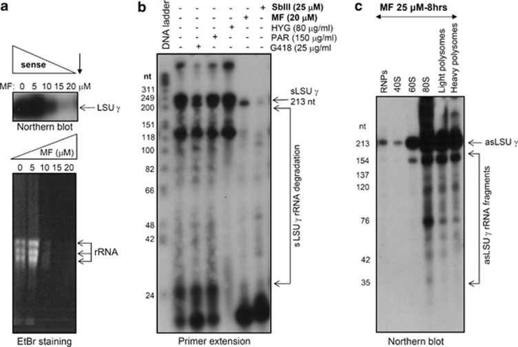 Fragmentation of asLSU- γ RNA upon induction of apoptosis is correlated with extensive degradation of the sLSU- γ LSU- γ rRNA in L. infantum axenic amastigotes. ( a , upper panel) Northern blot analysis of RNA samples extracted from L. infantum amastigotes treated with various concentrations of MF (0–20 μ M) for 24 h. ( a , bottom panel) Ethidium bromide (EtBr)-stained RNA gel is shown here. ( b ) Primer extension analysis of L. infantum axenic amastigotes treated for 24 h with either G418 (25 μ g/ml) or paramomycin sulphate (150 μ g/ml) or hygromycin-B (80 μ g/ml) or MF (20 μ M) and/or Sb III (25 μ M). A primer complementary to nucleotides 96–213 of sLSU- γ rRNA was used for the analysis. Arrows indicate the degradation pattern of sLSU- γ rRNA in MF- and SbIII-treated samples. ( c ) Lysates from Leishmania promastigotes treated with MF (25 μ M) were fractionated by a 15–45% sucrose gradient. RNA samples were isolated from the respective fractions as indicated in Figure 1d , resolved on a 10% urea acrylamide gel and hybridized with the 173 nt ss-DNA probe to detect asLSU- γ RNA. The asLSU- γ RNA fragments enriched in the 80S and polysome fractions are indicated