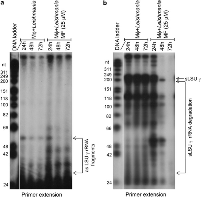 Fragmentation of asLSU- γ RNA upon induction of apoptosis is correlated with extensive degradation of the sLSU- γ LSU- γ rRNA in L. infantum macrophage-derived amastigotes. ( a ) Primer extension analysis to detect fragmentation of asLSU- γ rRNA on total RNA extracted from THP-1 human macrophage-derived amastigotes treated with MF (25 μM) for various time points post infection (24, 48 and 72 h) and compared with the untreated control. ( b ) Primer extension analysis of macrophage-derived amastigotes treated with MF as in ( a ) to visualize degradation of sLSU- γ rRNA upon MF treatment