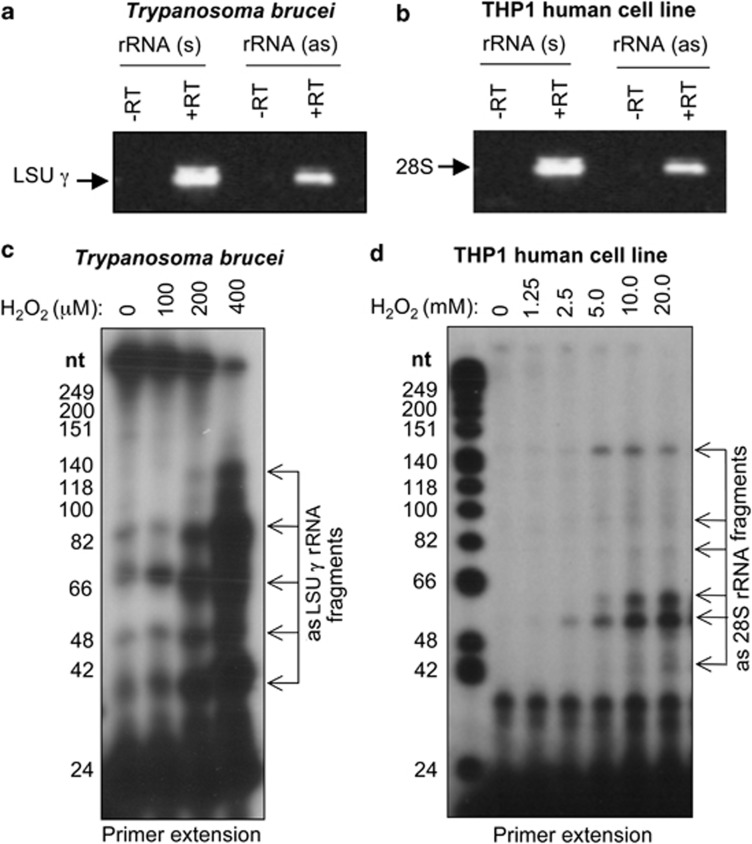 The asrRNA fragmentation process is evolutionary conserved. Single-stranded (SS) RT-PCR was performed to detect asRNA complementary to the LSU- γ rRNA of Trypanosoma brucei ( a ) and to the 28S rRNA in the THP-1 human acute monocytic leukemia cell line ( b ) using specific forward primers (see Supplementary Table 1 ). ( c ) Primer extension analysis using a forward primer complementary to nucleotides 101–118 of the T. brucei LSU- γ rRNA to detect asLSU- γ RNA fragmentation in T. brucei exposed to H 2 O 2 (0–400 μ M). ( d ) Primer extension to detect asRNA complementary to the human 28S rRNA in THP-1 cell line treated with H 2 O 2 (0–20 mM). A forward primer complementary to nucleotides 1–18 of the human 28S rRNA was used
