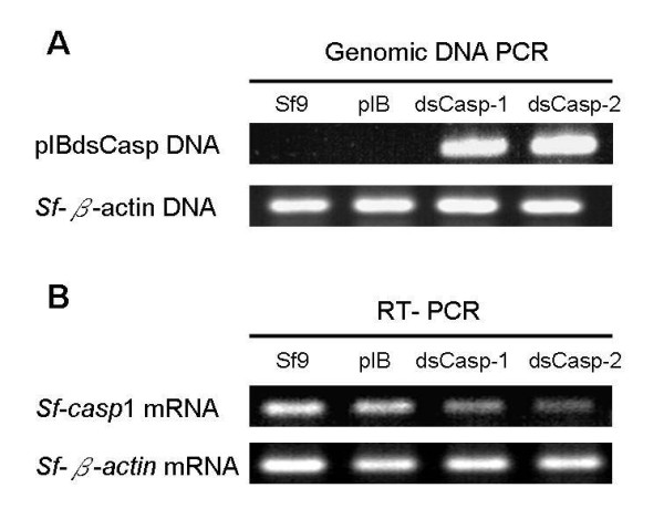 Genomic DNA PCR (A) and RT-PCR (B) analysis in Sf9/pIBdsCasp-1 and Sf9/pIBdsCasp-2 cells. Genomic DNA and total RNA of the cells (Sf9, Sf9/pIB, Sf9/pIBdsCasp-1 and Sf9/pIBdsCasp-2) were extracted and analyzed by PCR and RT-PCR, respectively. The corresponding specific primer sequences and PCR cycles are presented in Table 1 . pIB, Sf9/pIB cells; dsCasp-1, Sf9/pIBdsCasp-1 cells; dsCasp-2, Sf9/pIBdsCasp-2 cells.