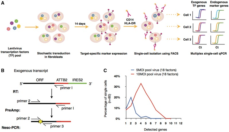 Workflow of single-cell screening and Nested-single-cell-PCR (Nesc-PCR). ( A ) Lentviruses encoding multiple transcription 'modulating' factors (TMs) are pooled and transduced into human dermal fibroblasts for a period of 2 weeks. Because of the stochastic nature of virus infection, a variety of TM combinations are expressed at random per single cell. Cells expressing a defined set of TMs give rise to the expression of target-cell-specific markers (e.g. CD14 and HLA-DR) allowing them to be individually sorted using FACS. Subsequently, single cells are profiled using a Nesc-PCR gene expression analysis by reverse transcribing (RT) the exogenous transcripts with a virus-specific primer (primer 1) followed by 18 cycles of pre-amplification with gene-specific forward primers (primer 2) and primer 1. The cDNA products are then subjected to a microfluidic qPCR for the identification of exogenous transcripts using gene-specific sense (primer 2) and anti-sense (primer 3) primer pairs and fluorescence probes (yellow star) ( B ). ( C ) The single cells transduced with pooled lentivirus (18 factors) at 5 MOI and 10 MOI were sorted and profiled using Nesc-PCR. At 10 MOI, > 30% of single cells expressed 4 out of 18 TMs, while 20% of single cells expressed 2 out 18 TMs at 5 MOI.