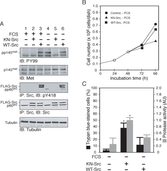 Src activity is required for survival and growth of 5637 cells in serum-free conditions. ( A ) 5637 cells were transfected with a control plasmid or plasmid expressing FLAG-tagged kinase-negative Src (KN-Src) or FLAG-tagged wild-type Src (WT-Src) as described in   Materials and Methods . After the transfection, cells were cultured in either serum-containing medium (FCS +) or serum-free medium (FCS −) for 24h. Triton X-100-solubilized cell extracts were prepared and analyzed by immunoprecipitation (IP, 300µg/lane) and/or immunoblotting (IB, 30µg/lane) with the indicated antibodies as described in   Materials and Methods . The positions of the tyrosine-phosphorylated forms or the total proteins of p145 met , FLAG-tagged or endogenous Src, and tubulin are indicated. ( B ) 5637 cells (0.1×10 6  cells/dish) were cultured in serum-containing conditions for 24h (○), transfected with a control plasmid ( ), KN-Src (▴), or WT-Src (▪) for 24h as in panel A, and then cultured in serum-containing (FCS +) or serum-free medium (FCS −) for 48h. Cell number was determined at 24, 48, 72 and 96hours of incubation. ( C ) 5637 cells were treated as in panel B. After the treatments (96h post incubation), cell death (black bars, shown as percentage of total cells) and caspase 3/7 protease activity of Triton X-100-solubilized cell extracts (20µg/assay) (grey bars, shown as arbitrary unit) were determined by Trypan Blue exclusion and a synthetic substrate Ac-DEVD-AMC, respectively, as described in   Materials and Methods . Data shown are mean ± s.d. of three independent experiments. * P