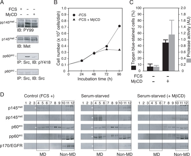 """Disruption of cholesterol-dependent MDs interferes with Src-dependent signal transduction and promotes apoptosis in serum-starved 5637 cells. ( A ) 5637 cells were grown in serum-free condition in the absence or the presence of methyl-β-cyclodextrin (MβCD, 15µM) for 8h. After the treatments, Triton X-100-solubilized cell extracts were prepared and analyzed for tyrosine phosphorylation of p145 met  and p60 src  by immunoprecipitation (300µg/lane) and/or immunoblotting (30µg/lane). Control data obtained with the extracts prepared from cells grown in serum-containing medium (FCS +) are also shown. ( B ) 5637 cells (0.1×10 7  cells/dish) were grown in serum-containing condition for 48h and then exposed to serum-free medium with (▴) or without ( ) 15µM MβCD for 48h (total incubation time of 96h). At 24, 48, 72, and 96h of treatments, cell number was determined as in   Fig.2B . ( C ) 5637 cells were cultured in serum-containing (FCS +) or serum-free (FCS −) medium with or without 15µM MβCD as in panel B for 8h. After the treatments, cell death and caspase 3/7 activity were determined as in   Fig.2C . ( D ) 5637 cells were cultured in serum-containing medium (control, FCS +), serum-free medium in the absence (serum-starved) or the presence of 15µM MβCD (serum-starved, + MβCD). Cell samples were subjected to subcellular fractionation by discontinuous sucrose density gradient ultracentrifugation as described in   Materials and Methods . Twelve fractions obtained were separated by SDS-PAGE and analyzed by immunoblotting with the indicated antibodies. Rectangles indicate the positions of low density, detergent-insoluble MD fractions (fractions 4–6, denoted as """"MD"""") and non-MD fractions (fractions 10–12, denoted as """"non-MD""""). Asterisks indicate the positions of proteins of interest."""