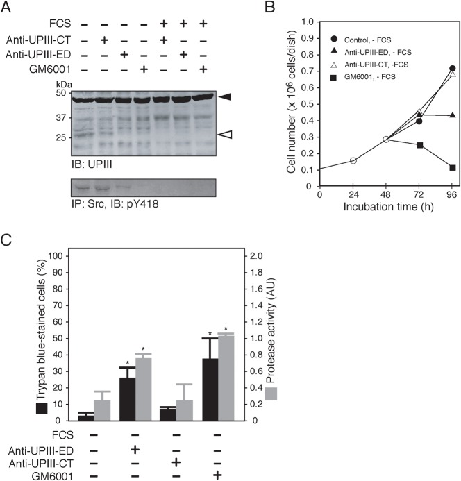 GM6001 and anti-UPIII antibody inhibit Src-dependent signal transduction and proteolysis of UPIII, and promote apoptosis in serum-starved 5637 cells. ( A ) 5637 cells were cultured in serum-free (FCS −) or serum-containing (FCS +) conditions for 24h in the absence or the presence of 100µg/ml anti-UPIII-CT IgG (CT), 100µg/ml anti-UPIII-ED IgG (ED), or 10µM GM6001. Partial proteolysis of UPIII (IB: UPIII), and tyrosine phosphorylation of Src (IP: Src, IB: pY418) were analyzed by immunoblotting of the Triton X-100-solubilized cell extracts (20µg/lane). ( B ) 5637 cells (0.1×10 6  cells/dish) were grown in serum-containing condition for 48h and then exposed to serum-free medium in the absence ( ) or the presence of 100µg/ml anti-UPIII-ED antibody (▴), 100µg/ml anti-UPIII-CT antibody (▵), or 10µM GM6001 (▪) for 48h (total incubation time of 96h). At 24, 48, 72, and 96h of treatments, cell number was determined as in   Fig.1B . ( C ) 5637 cells were cultured in serum-free medium (FCS −) in the absence or the presence of 100µg/ml anti-UPIII-ED antibody, 100µg/ml anti-UPIII-CT antibody, or 10µM GM6001 for 8h. After the treatments, cell death and caspase 3/7 activity were determined as in   Fig.2C . * P