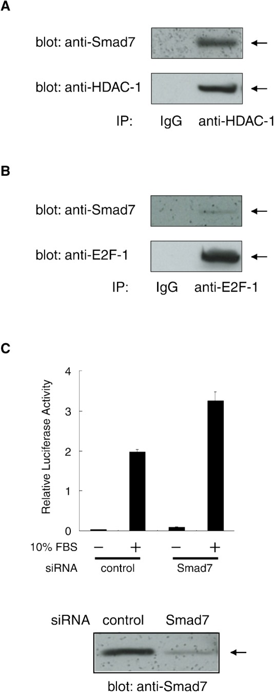 Endogenous Smad7 regulating an E2F-responsive promoter. (A) Association of endogenous Smad7 and HDAC-1 proteins in A549 human lung cells. Nuclear extract from untransfected A549 cells were incubated with an α-HDAC-1 antibody or control IgG. Immune complexes were examined by Western blotting using α-Smad7 and α-HDAC-1 antibodies. (B) Association of endogenous Smad7 and E2F-1 proteins. Immune complexes prepared using α-E2F-1 or control IgG as in (A) were examined by Western blotting using α-Smad7 and α-E2F-1 antibodies. (C) Effect of Smad7 knock-down on the transcriptional activation of E2F-responsive promoter. (Upper panel) In combination with a vector for either Smad7-targeting or control siRNA, luciferase reporter (pGVB2-E2F×4) driven by an E2F-responsive promoter was transfected into A549 cells. Cells were serum-starved for 40 h, stimulated in medium containing 10% FBS for 18 h and then lysed for assays. Luciferase activity in the lysates is shown as means with S.D. from triplicate experiments. (Lower panel) Level of endogenous Smad7 in the lysates was examined by Western blotting using α-Smad7.