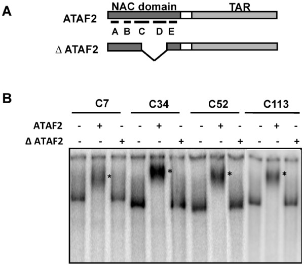 ATAF2 binds DNA sequences from the genomic pull-down assay. ( A ) Schematic representation showing ATAF2 and ∆ ATAF2 deletion constructs. NAC domains C and D cover the DNA binding domain. ( B ) EMSA assay confirming ATAF2 and not ∆ ATAF2 binds to DNA clones identified in genomic pull-down assays. DNA probes were prepared by PCR-amplification followed by end-labeling with [γ- 32 P]ATP. The asterisk indicates the shifted band after ATAF2 binding. The four clones tested (C7, C34, C52, and C113) were all located within 1000 bp upstream of the coding sequences of At1G08540, At1G68907, At3G26540, and At3G11700 respectively.