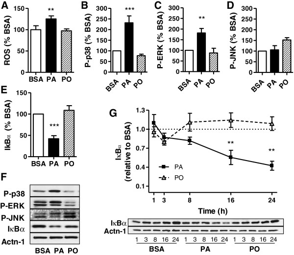 Palmitate activates ROS and signalling pathways in muscle cells. L6 muscle cells were treated for 24h with 0.2 mM palmitate (PA), palmitoleate (PO) or BSA control. A ) Reactive oxygen species were analyzed using DCFDA, normalized to the protein content and expressed as percent of the BSA control. Results are mean ±SEM (n=4) analyzed using 1-way ANOVA, **p