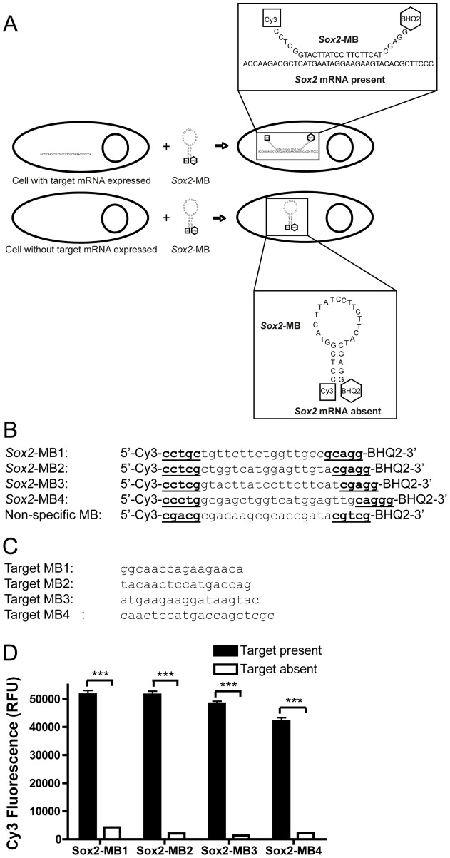 Mechanism and design of Sox2 mRNA-specific MB. (A) Opening of the Sox2 -MB is induced in the cytoplasm of cells expressing Sox2 and emission of Cy3 fluorescence is detected. In contrast, Sox2 -MB remains in the hairpin conformation in the cytoplasm of Sox2 negative cells, and no emission of Cy3 fluorescence is detected. (B) The sequences of the designed Sox2 -MBs and the non-specific-MB. (C) The sequences of the synthesized oligonucleotides complementary to the loop sequence of each Sox2 -MB. (D) The Sox2 -MBs were mixed with or without its target sequence and the Cy3-fluorescence was detected with microplate reader. A difference was seen in all of the designed Sox2 -MBs between when the target sequence was present or not. Error bars represent the mean ± SEM. Asterisks denote statistical significance (n = 3 samples, *** p